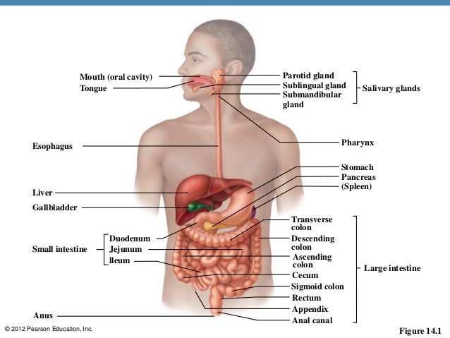 Diagram of the alimentary system wiring library 123paintcolor digestive system diagram pearson education images how to ccuart Image collections