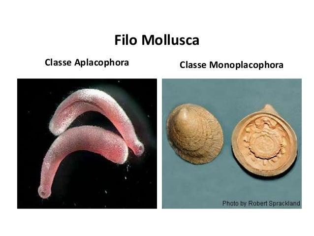Filo Mollusca Classe Aplacophora Classe Monoplacophora