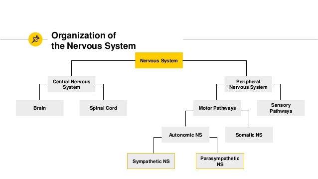 Anaphy parasympathetic and sympathetic division the autonomic nervous system sympathetic parasympathetic ns 2 ccuart Choice Image