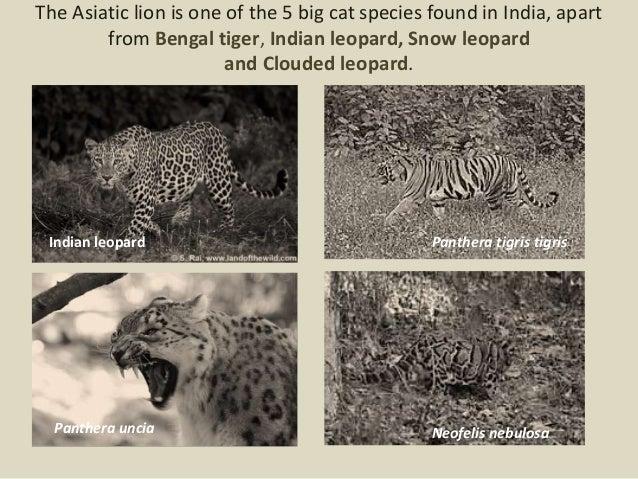 Zoology- xi d, Asian lion of India, 11 slides
