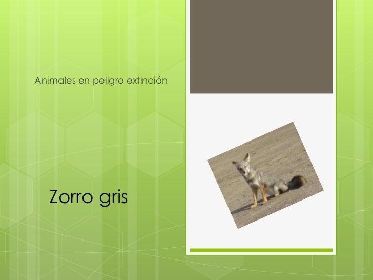 Animales en peligro extinción   Zorro gris