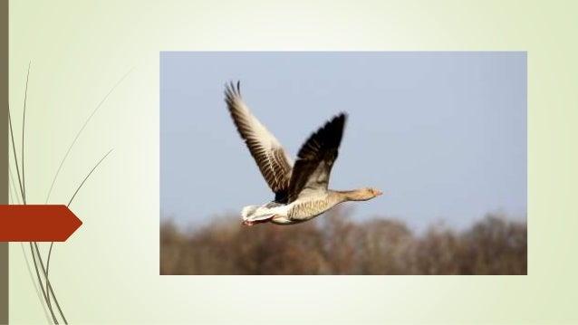 Zugvögel Das Frühjahr und der Herbst sind die Zeiten, der Wanderung der Zugvögel. Im Herbst ziehen diese Vögel in den Süde...