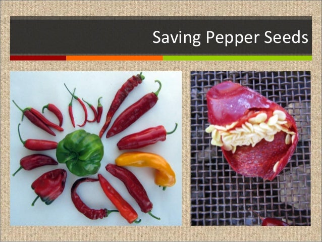 Saving Pepper Seeds