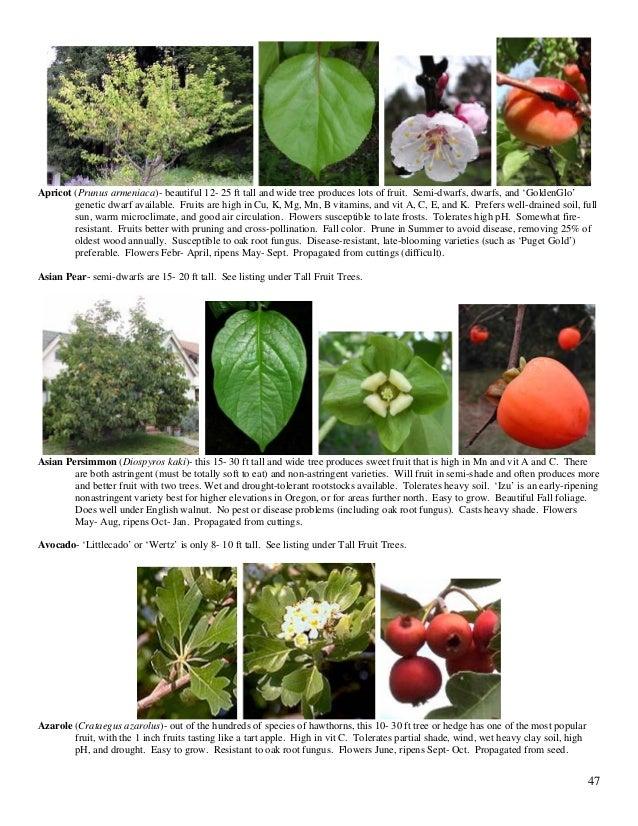 Asian pear oak root fungus