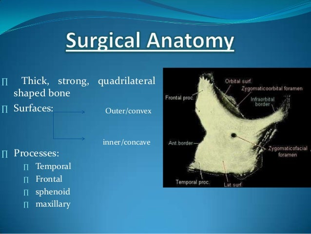∏ Thick, strong, quadrilateralshaped bone∏ Surfaces:∏ Processes:∏ Temporal∏ Frontal∏ sphenoid∏ maxillaryOuter/convexinner/...