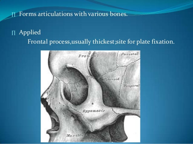 ∏ Forms articulations with various bones.∏ AppliedFrontal process,usually thickest;site for plate fixation.