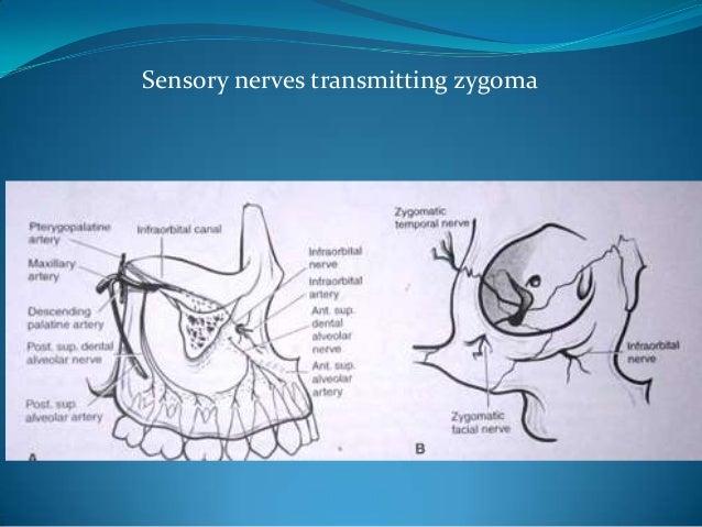 Sensory nerves transmitting zygoma