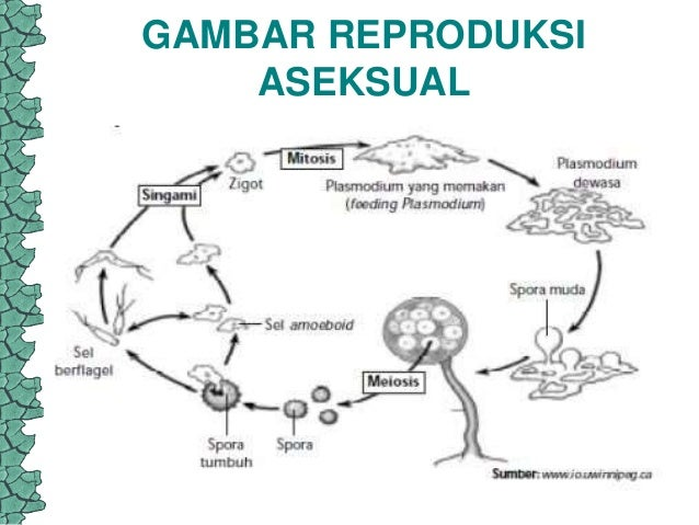 Nama spora aseksual zygomycota asexual reproduction